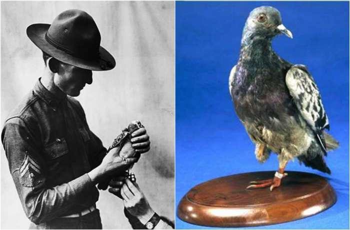 Шер Ами – почтовый голубь, который спас жизни 200 человек