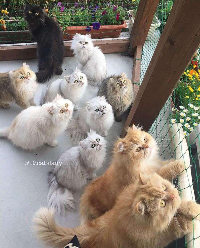 Владелица 12 персидских кошек из Японии очаровала пользователей Инстаграма