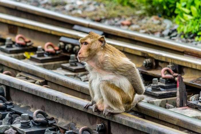 Monkey Buffet Festival: пир для обезьян