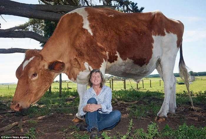 Самая большая корова в мире живет в Австралии