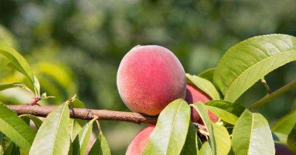 5 полезных свойств персика