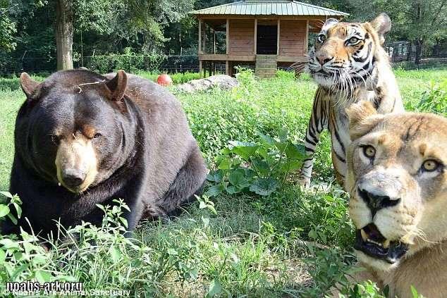 Умер лев Лео друживший и живший 15 лет с друзьями медведем и тигром