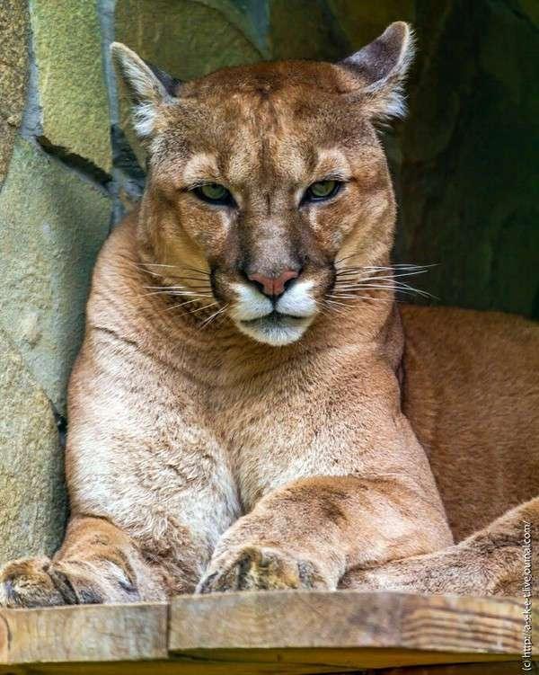В зоопарке Николаева посетители отравили снежного барса и пуму