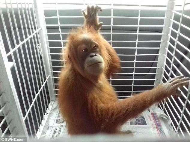 Юный орангутан целый год жил на цепи в каменном мешке