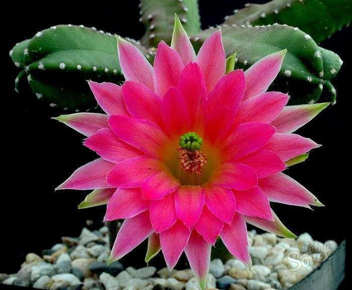 Как заставить кактус цвести