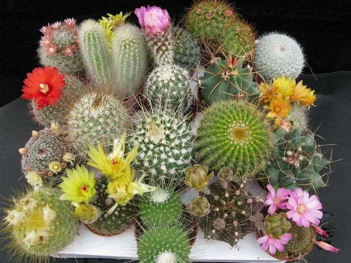 Как заставить цвести кактус в домашних условиях