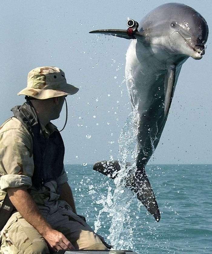 Как готовят боевых дельфинов