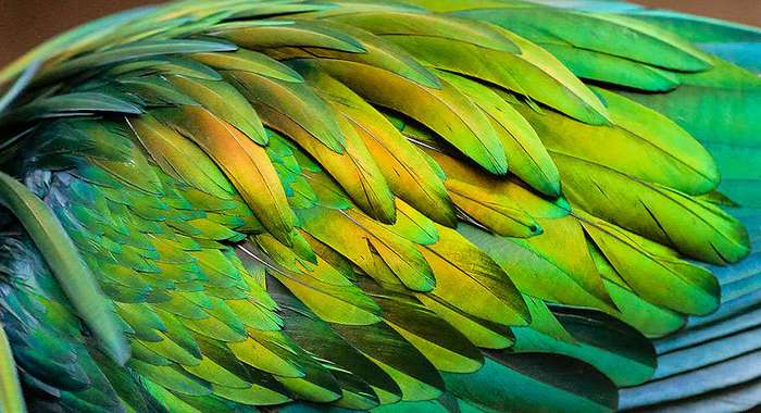 Гривистый голубь — ближайший родственник птицы додо