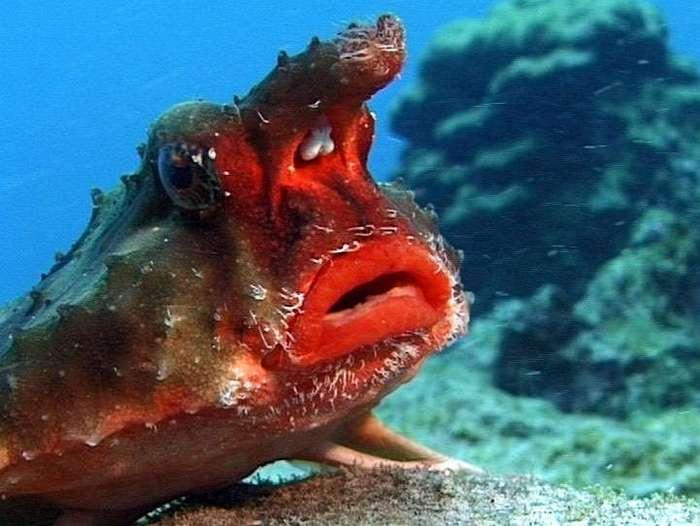 Морской нетопырь (Ogcocephalus)