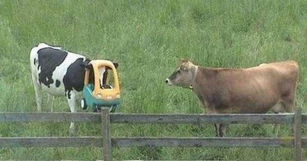 17 доказательств того, что коровы похожи на нас больше, чем вы думаете