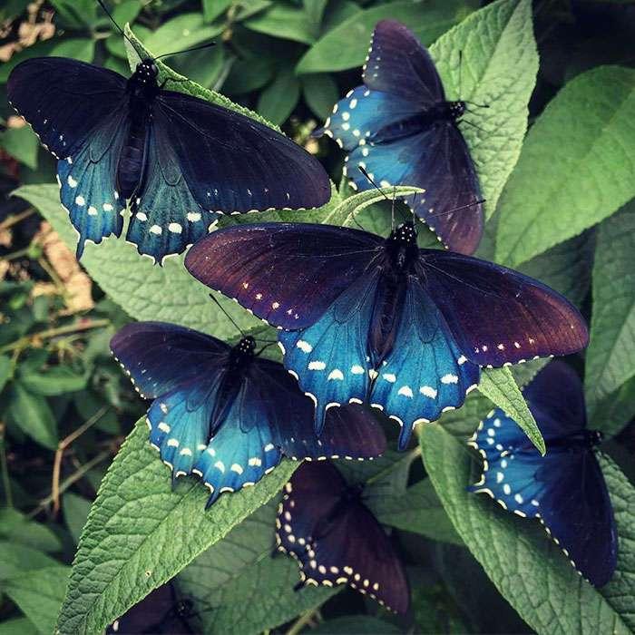 Биолог выводит исчезающий вид бабочек у себя в саду