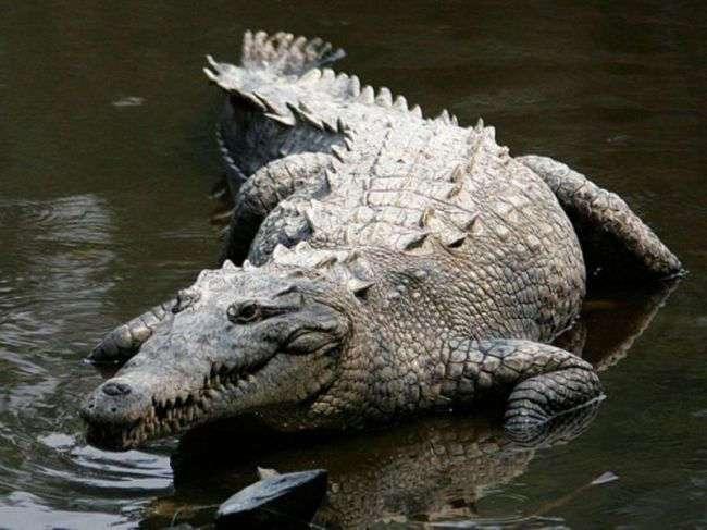 Умер самый большой в мире крокодил-людоед