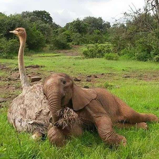 Осиротевшие страус и слоненок подружились и поддержали друг друга
