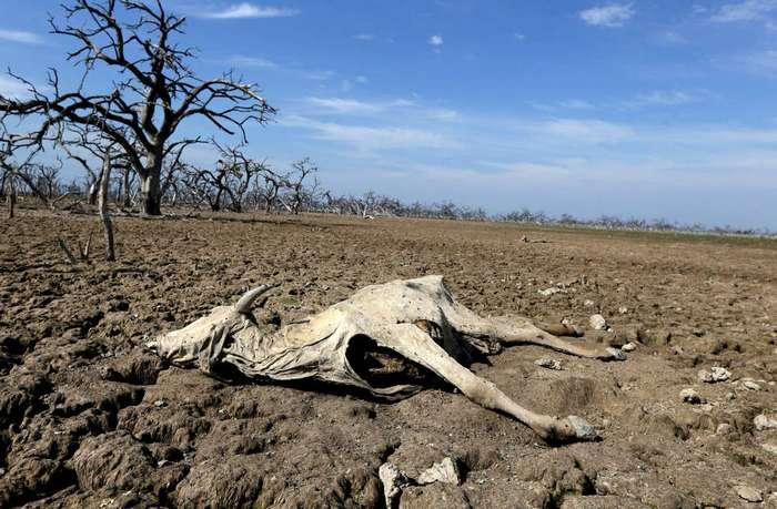Засуха угрожает вымиранием кайманам в Парагвае