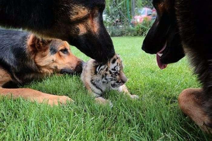 Тигренка, от которого отказалась мать, растят собаки!
