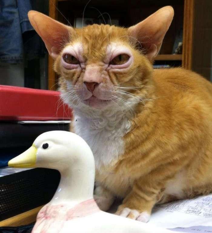 Кот, похожий на магистра Йоду