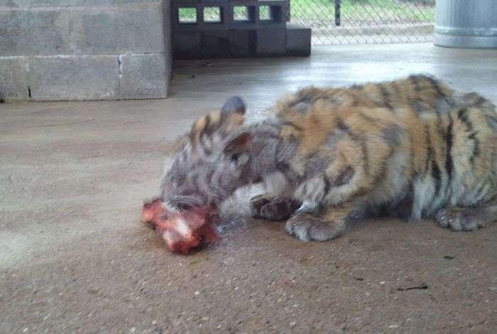 Изможденного тигренка спасли из цирка. Преображение!