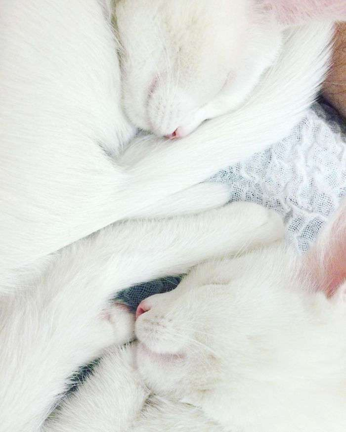 Кошки-близняшки с гетерохромией глаз Айрисс и Эбисс