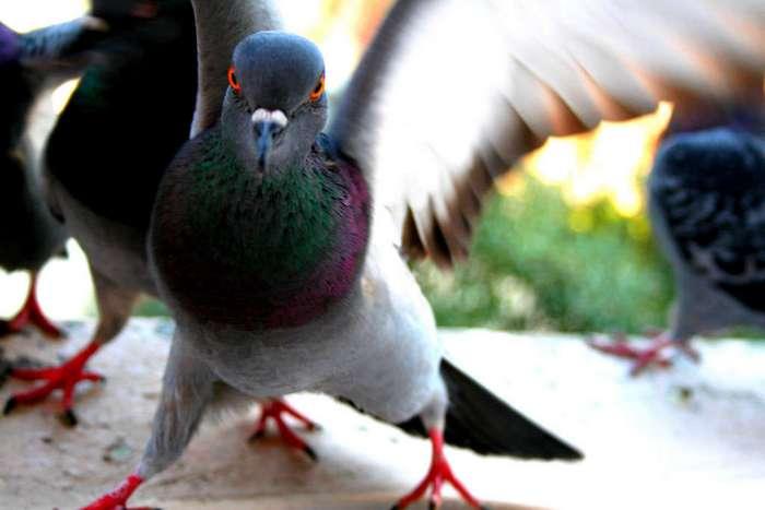 Мой учитель литературы называл голубей «городскими ублюдками»