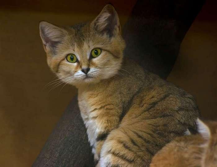 барханный кот купить киев деяких завданнях потрібно
