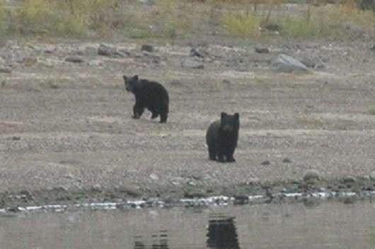 Расставание медвежат с мамой-медведицей