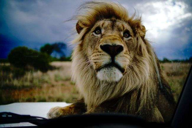 Прогулка со львами (14 фото)