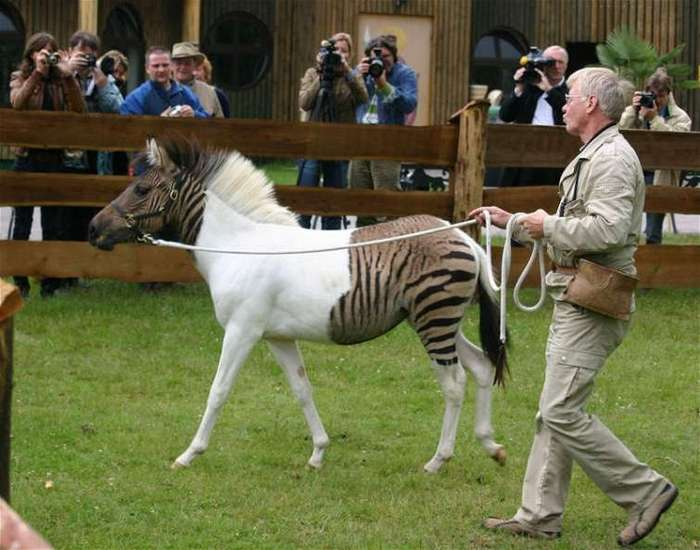 Причудливые гибридные зебры