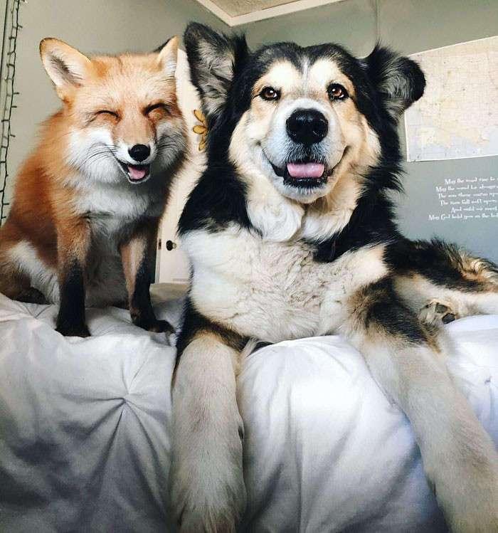 Домашняя лиса Джунипер и ее лучший друг по кличке Мус
