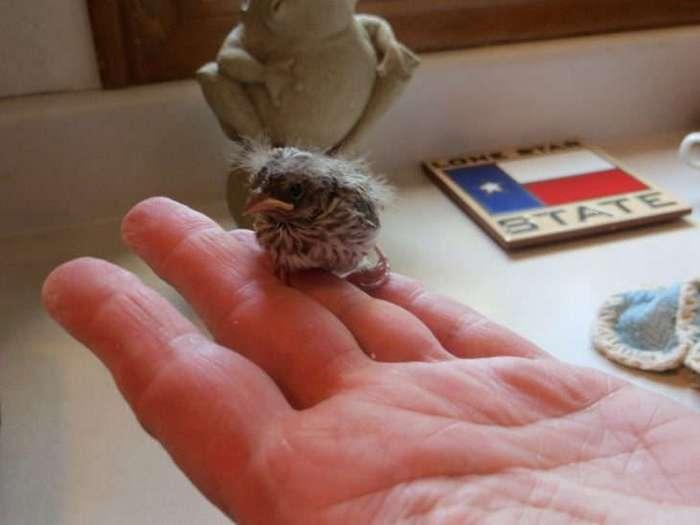 Этот птенец выпал из гнезда и умирал. Но посмотрите на него через 36 дней!