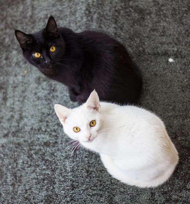 Инь и ян: черные и белые котики, которые выглядят так идеально, что кажутся одним целым