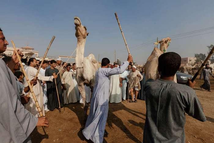 Как продают верблюдов в Египте