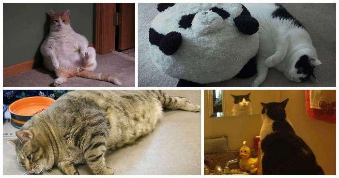 20 упитанных котов, которые плевать хотели на эти ваши диеты