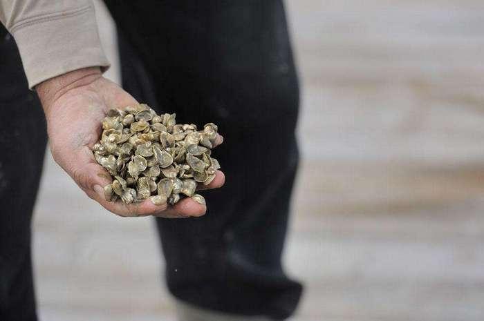 Как выращивают устрицы в штате Мэрилэнд