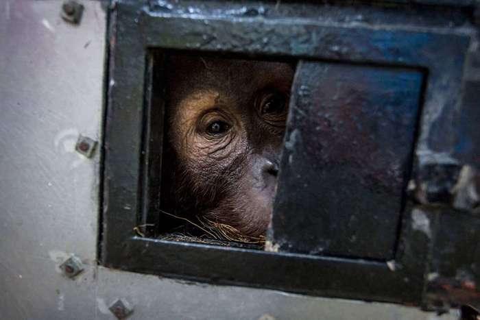 Орангутанги в Индонезии