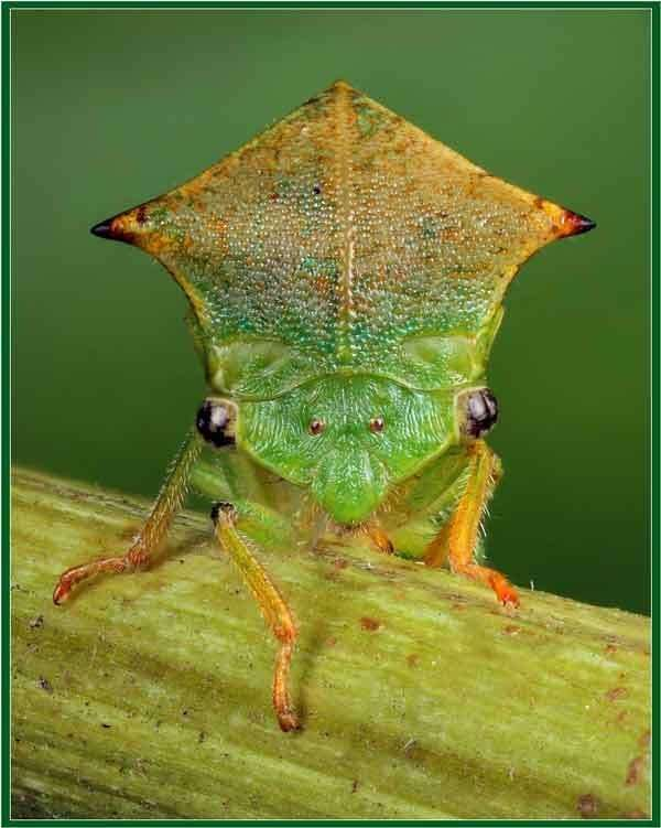 Самые странные, уродливые и ужасные насекомые мира