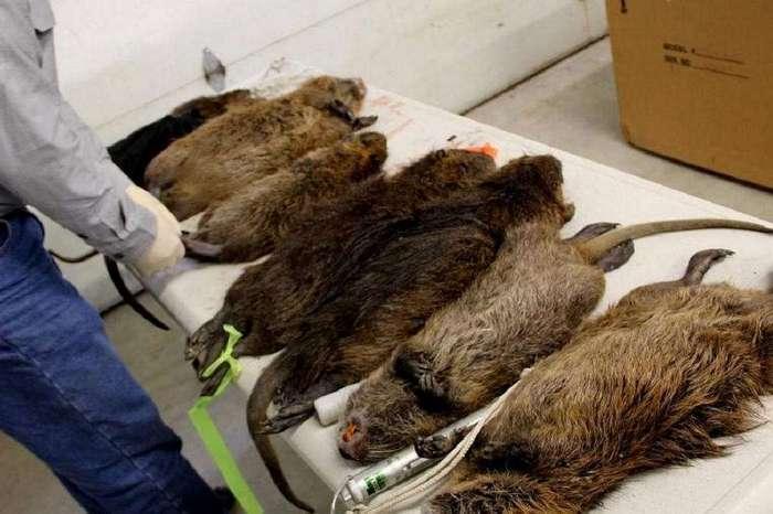 Гнездо гигантских крыс-каннибалов обнаружили в Великобритании