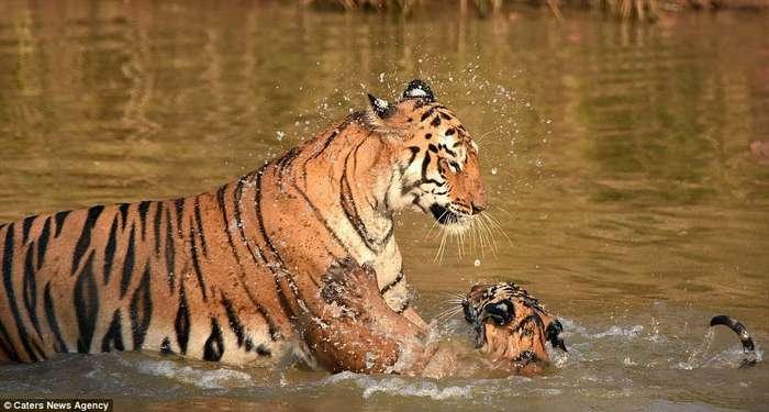 «И за ушами помой!» Как тигрица купала своего малыша в реке