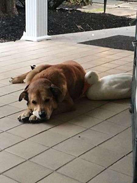 Дональду Даку и не снилось: утка-пришелец спасла тоскующего пса в годовщину смерти его подруги