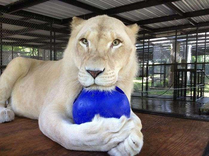Спасенные от живодера львы нашли свою любовь