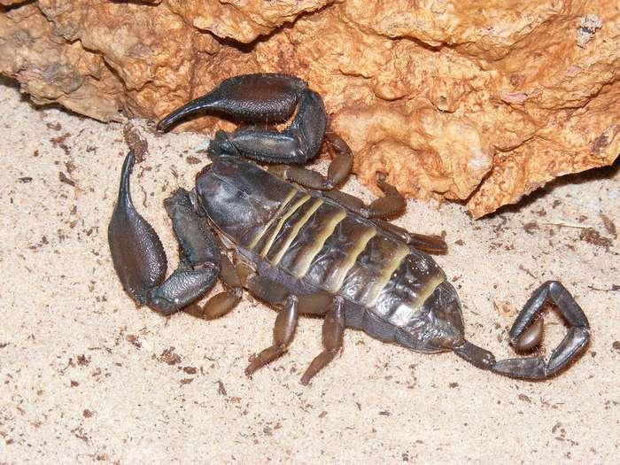 Скорпион, интересные факты