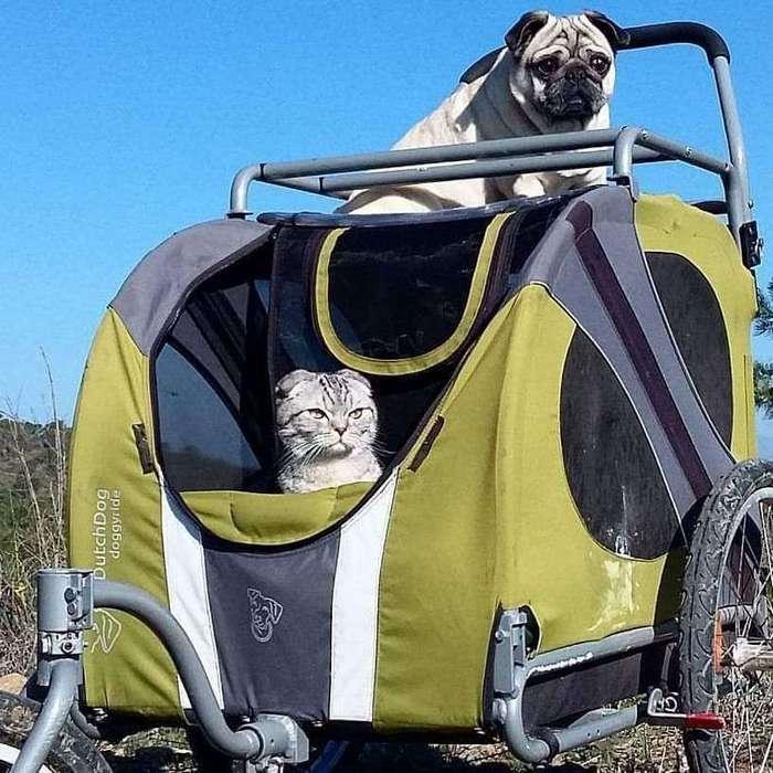 Кот и мопс продолжают путешествовать в своей знаменитой тележке