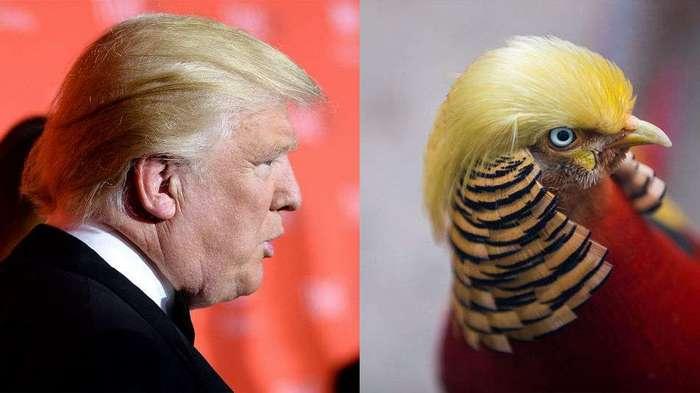 Похожий на Трампа фазан стал интернет-звездой