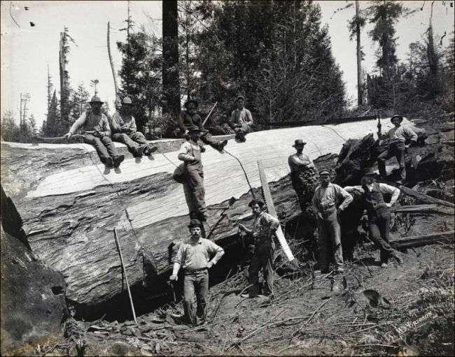 Лесорубы из прошлого. Когда деревья были большими. Очень большими