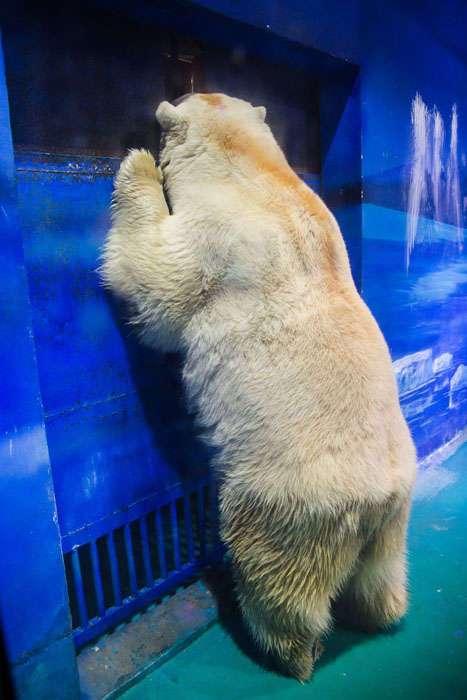 У самого несчастного медведя в мире появился шанс на спасение