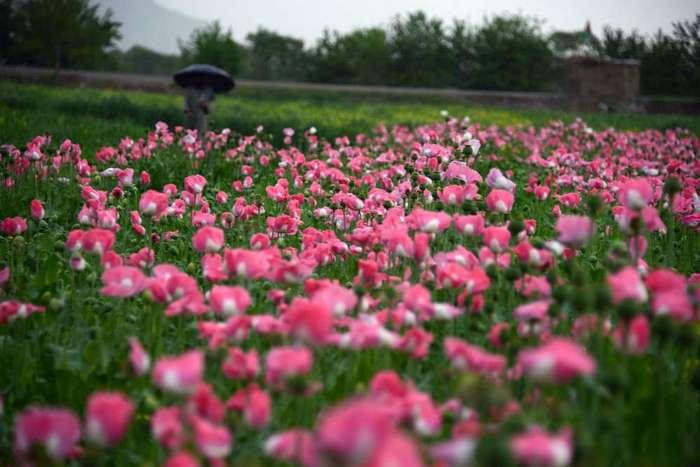 Сбор урожая опиумного мака на полях Афганистана