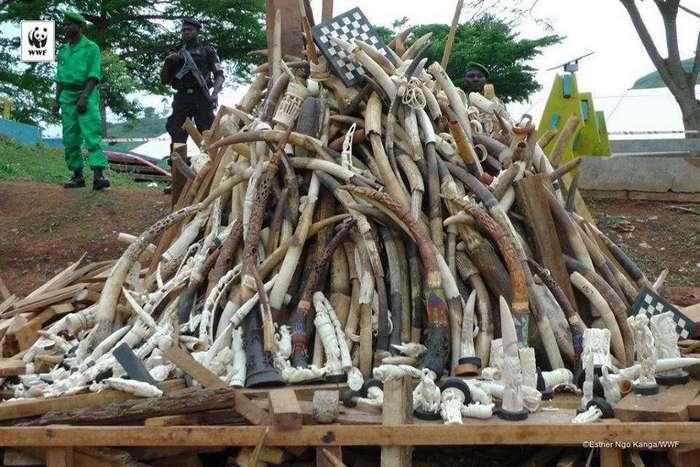 В Камеруне сожгли 2000 слоновьих бивней в рамках акции против браконьерства