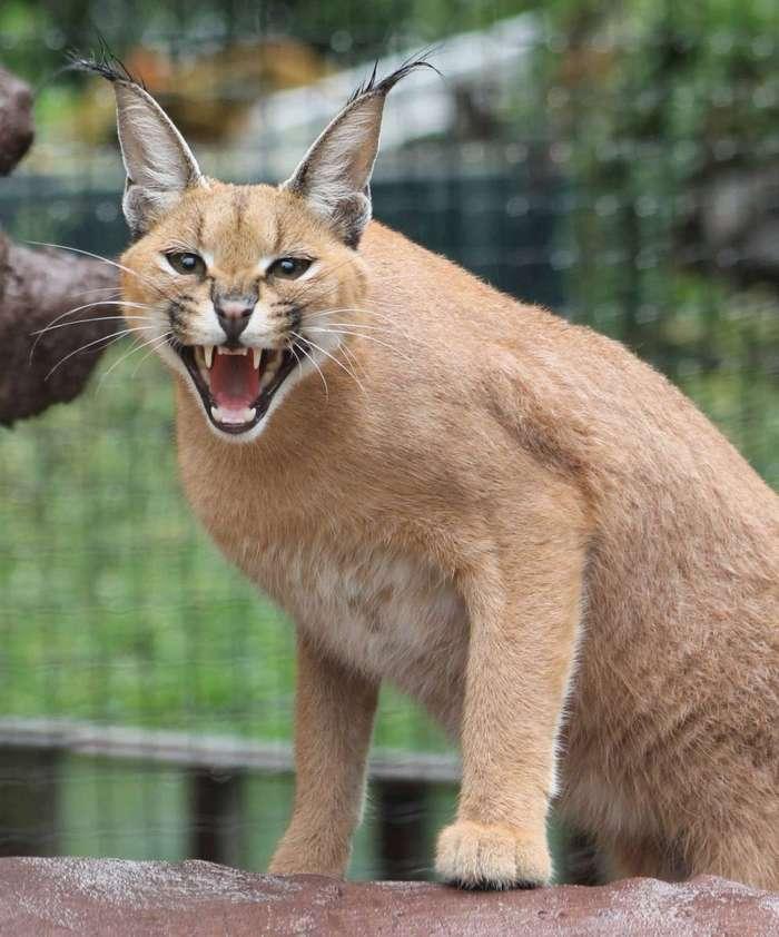 Дикие кошки: Каракал (Felis caracal)