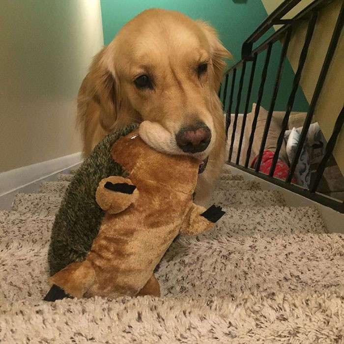 Каждую ночь эта собака берет с собой в кровать новые игрушки