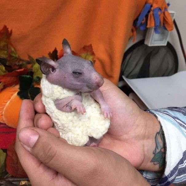 Оставшейся без хозяев лысой хомячихе подарили теплый свитер