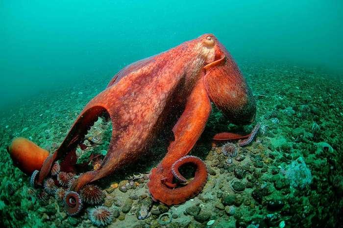 Как размножаются осьминоги